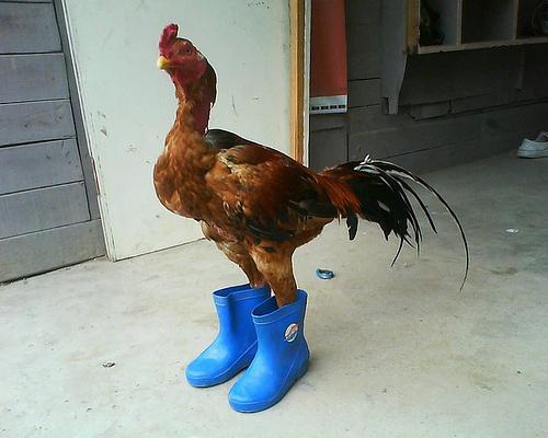 chicken-wearing-boots-chicken-wearing-wellington-boots-chicken-wellington-boots-blue-boots-14347107350