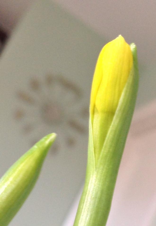 Cometh the daffodil, cometh the spring time...